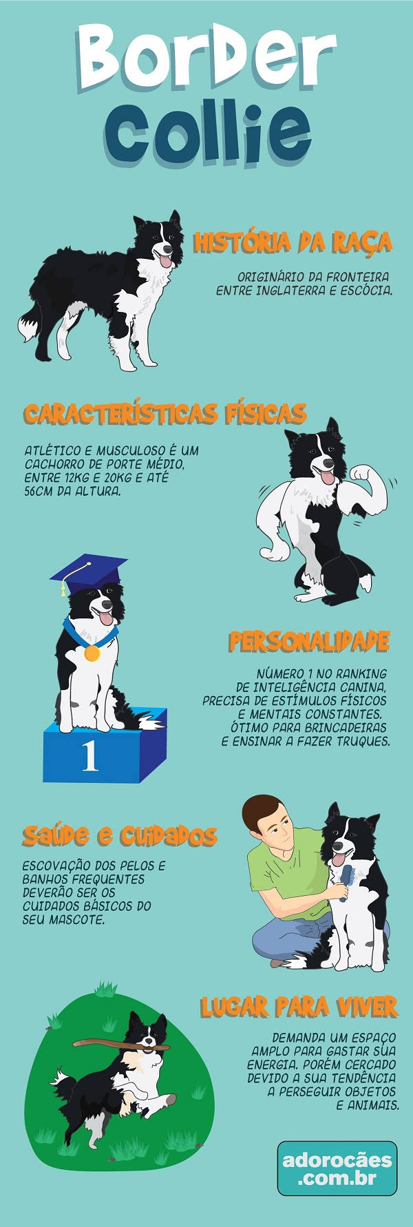 border collie infografico