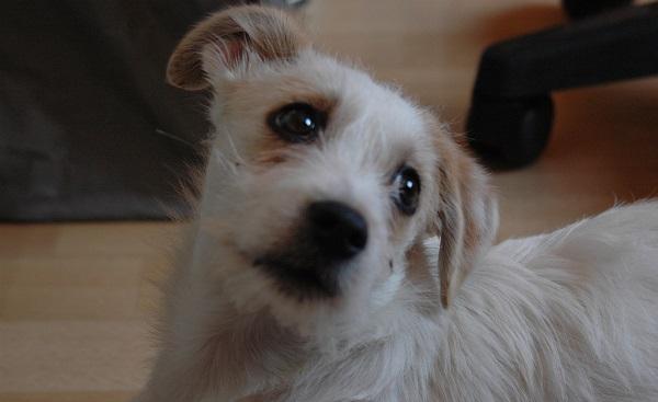 Por quê os cachorros choram