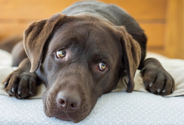 cachorro marron