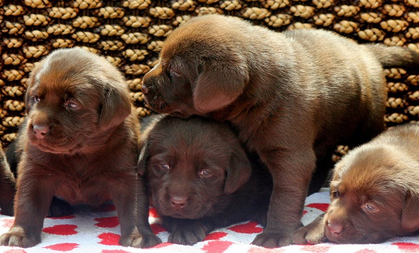 Como Cuidar Filhotes de Cachorro Recém Nascidos