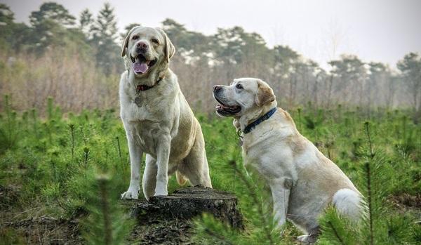 Cachorro macho tem cio